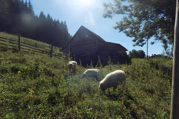 sheep-ukraine-mountains